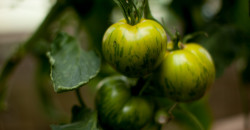 grünetomaten