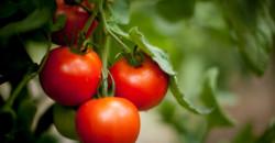 Tikka Tomate