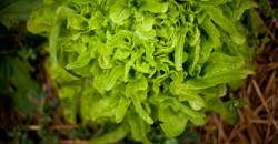 Till-Salat