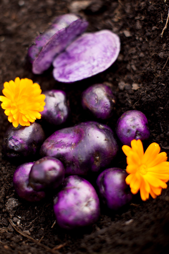 Kartoffellila2